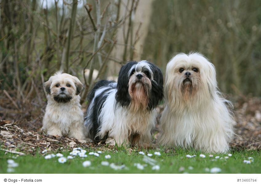 Lhasa Apso Familie mit Welpe