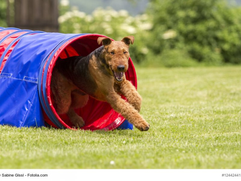Airedale Terrier im Agility Tunnel