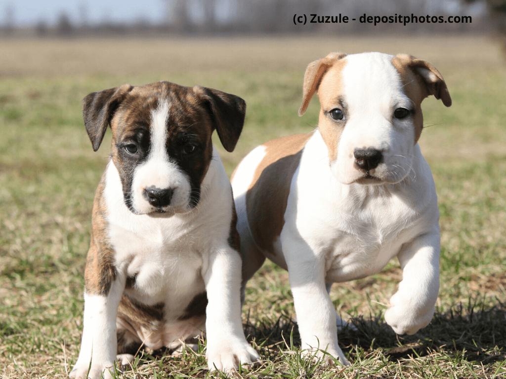 Amercian Staffordhire Terrier Steckbrief Mit Fci Klasse Und Mehr