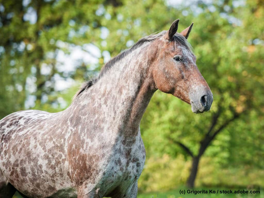 Appaloosa Steckbrief