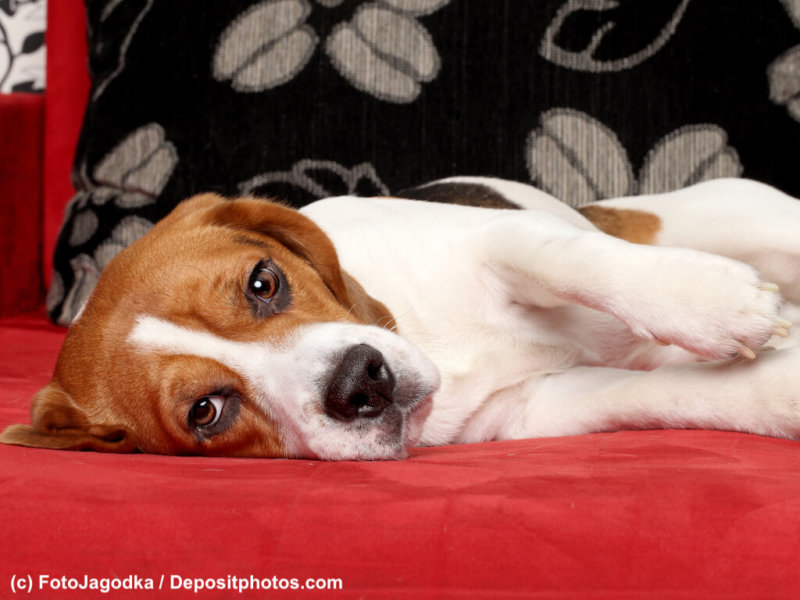 Young Beagle dog lying on red sofa