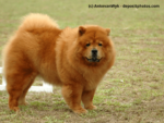 Chow-Chow Steckbrief
