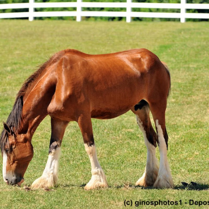 Junges, hellbraunes Clydesdale