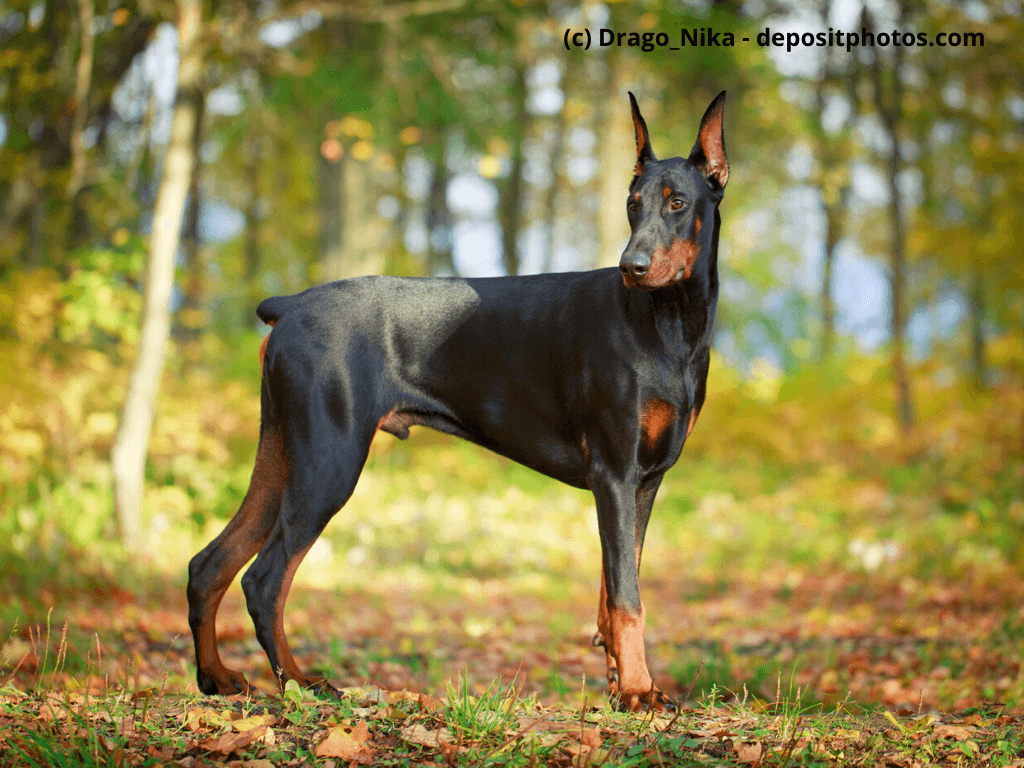 Dobermann Steckbrief