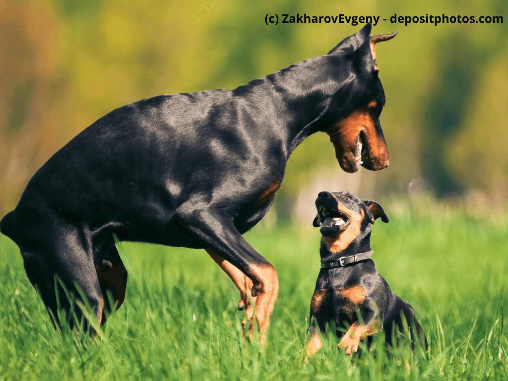 Dobermann Steckbrief mit FCI Klasse und mehr | Haustiermagazin