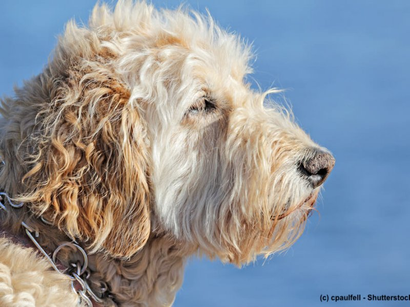 Irish-Soft-Coated-Wheaten-Terrier-Portrait-Meer