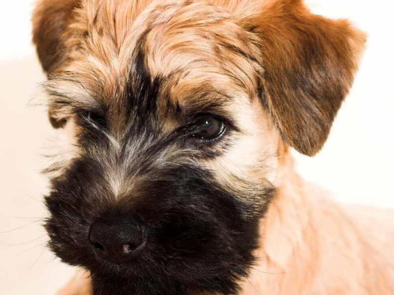 Irish-Soft-Coated-Wheaten-Terrier-Portrait-nah