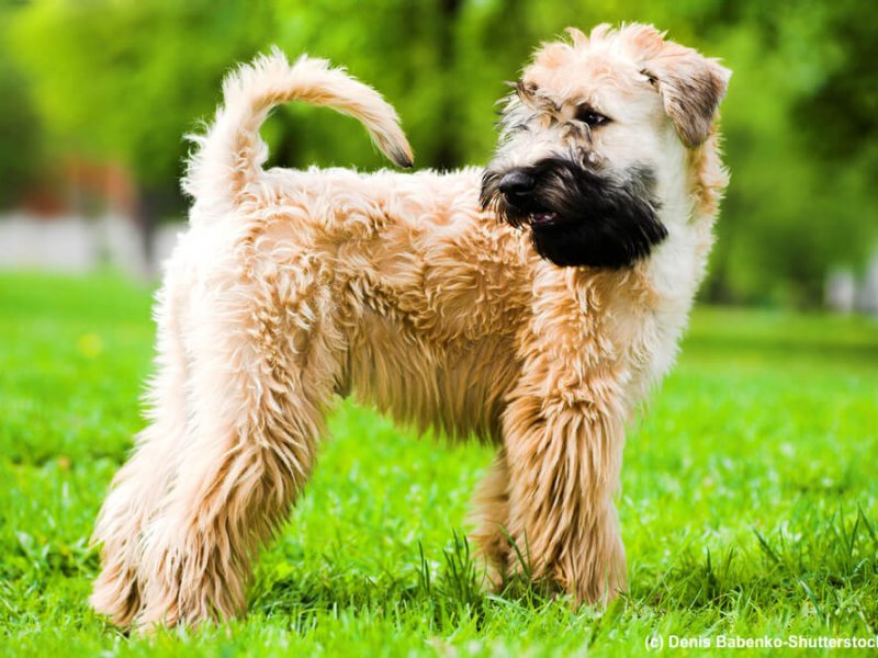 Irish-Soft-Coated-Wheaten-Terrier-Steckbrief