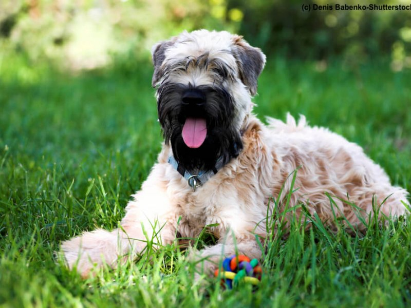 Irish-Soft-Coated-Wheaten-Terrier-Wiese-schwarze-Schnauze