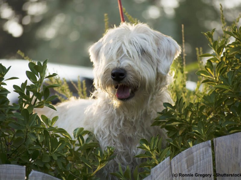 Irish-Soft-Coated-Wheaten-Terrier-neugierig