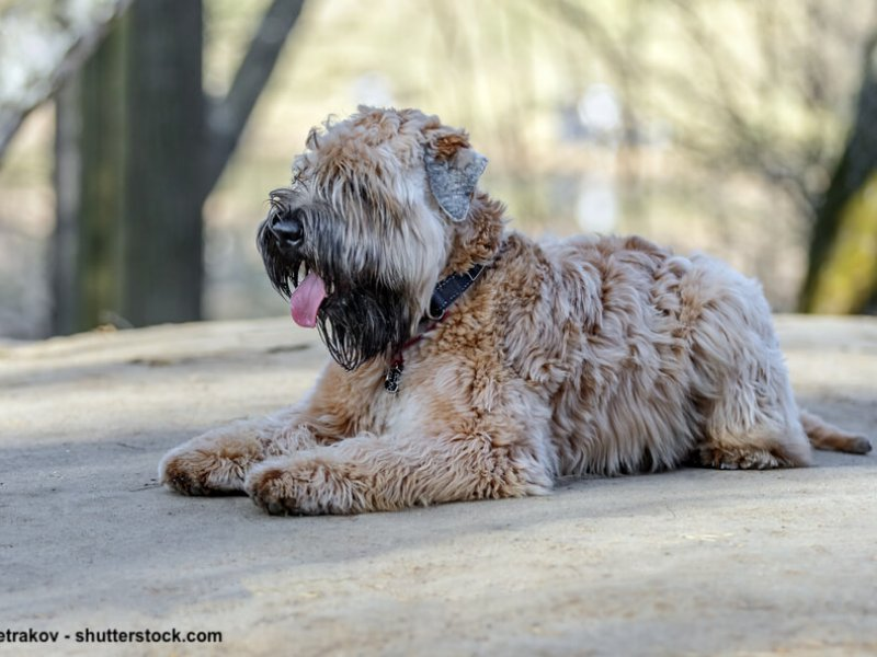 Irish-Soft-Coated-Wheaten-Terrier-sitzend