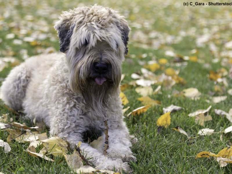Irish-Soft-Coated-Wheaten-Terrier-sitzt-wiese-vorn