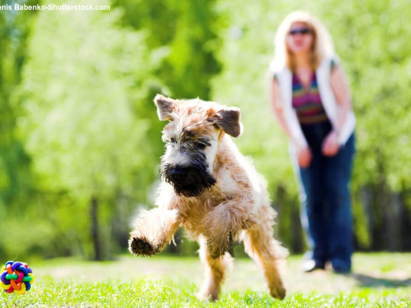Irish-Soft-Coated-Wheaten-Terrier-spielen