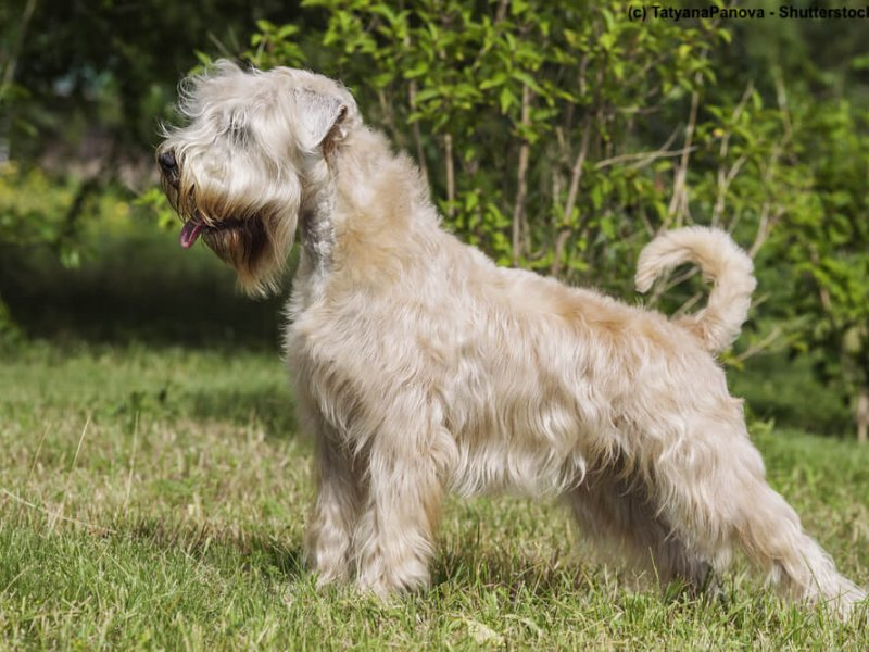 Irish-Soft-Coated-Wheaten-Terrier-stehend