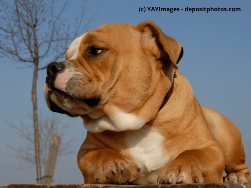 Old English Bulldog Portrait im Freien
