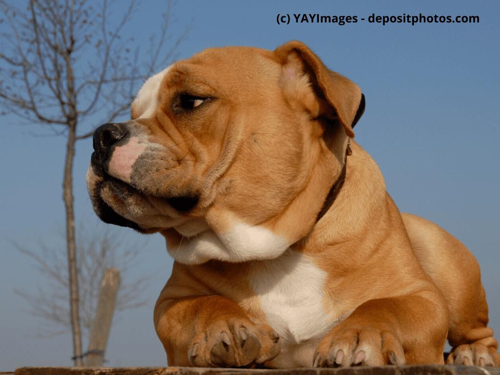 Old English Bulldog Steckbrief Mit Fci Klasse Haustiermagazin