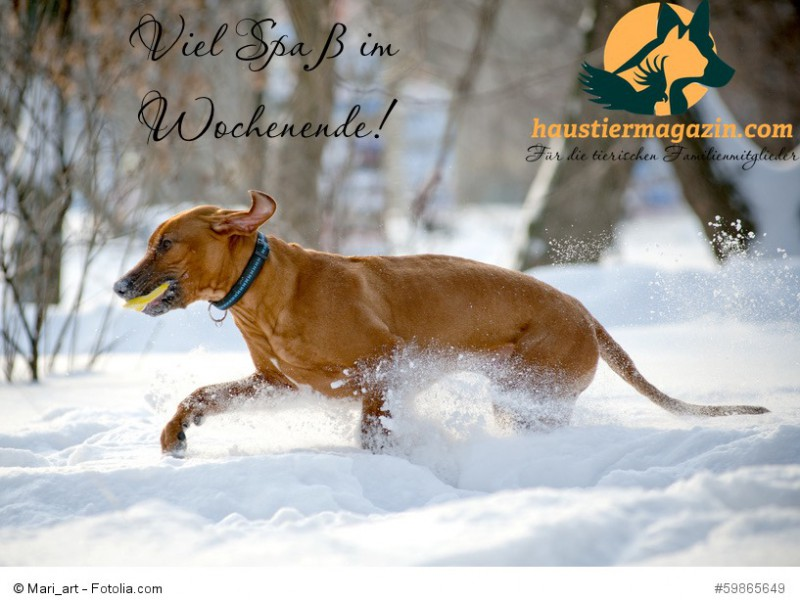Rhodesian Ridgeback dog in winter