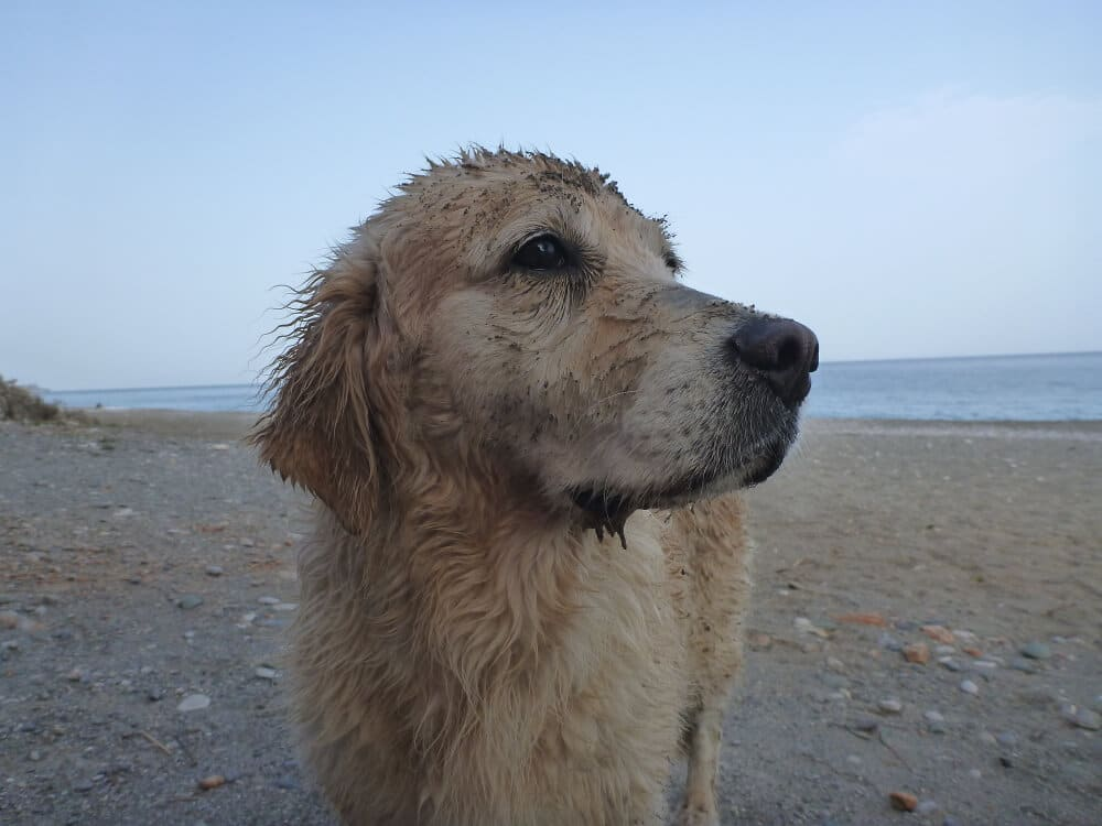 Alter Golden Retriever am Strand
