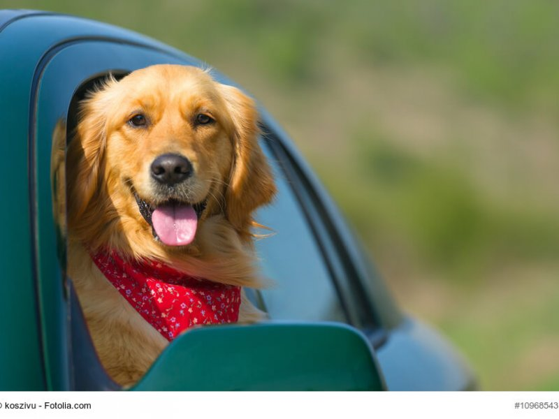 Golden Retriever schaut aus Autofenster