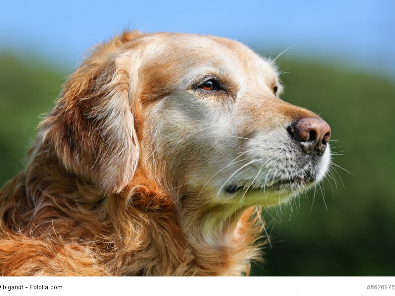 Portrait eines alternden Golden Retriever