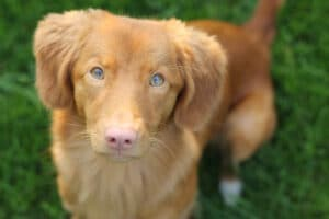 Nova Scotia Duck Tolling Retriever Hündin Mila